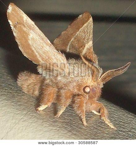 Furry Moth