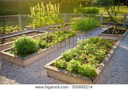 Community Kitchen Garden. Raised Garden Beds With Plants In Vegetable Community Garden. Lessons Of G