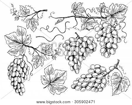 Grape Sketch. Floral Pictures Wine Grapes With Leaves And Tendrils Vineyard Engraving Vector Hand Dr