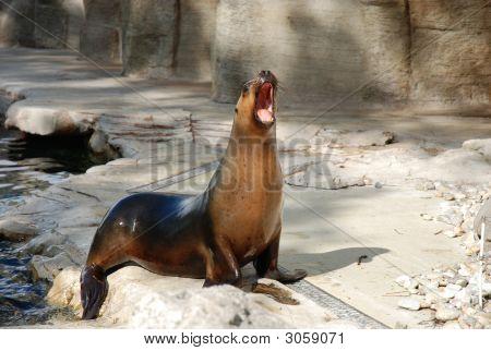 Yawning Eared Sea Lion