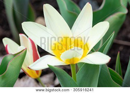 Flower White Botanical Tulip