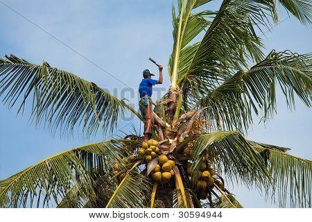 Kokos-Bergsteiger