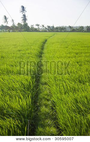 Long Rice Grass