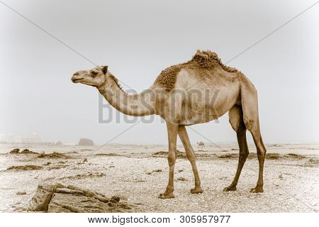 Wild camel in a desert near Salalah in Oman