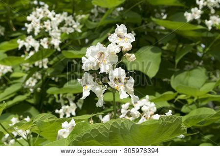 Catalpa Speciosa White Flowers And Green Leaves.
