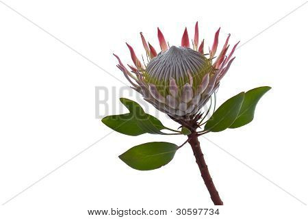 King Protea Isolated On White Background With Space For Text