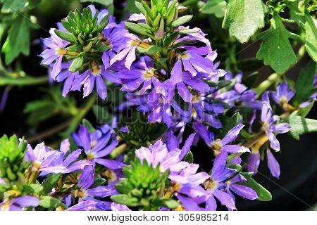 Beautiful Scaevola Aemula Purple Flowers In The Garden In Spring