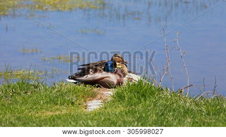Two Mallard ducks  by the pond