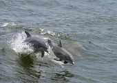 A mother dolphin jumping out of the water with her calf. poster