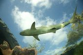 a reef shark swims above against a bright sky poster