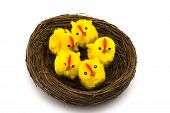Baby chicks sitting in nest isolated on white background poster