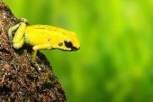 The frog (Dendrobates) - natural background. poster