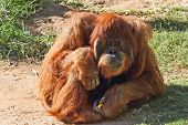 Huge hairy orangutan resting on the grass. Red hair gleaming in the sun poster