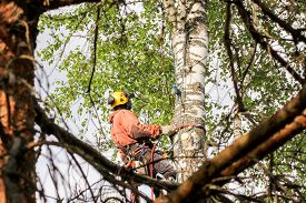 Kirishi, Russia - 24 May, Professional On The Tree, 24 May, 2019. Removal Of Large Emergency Trees B
