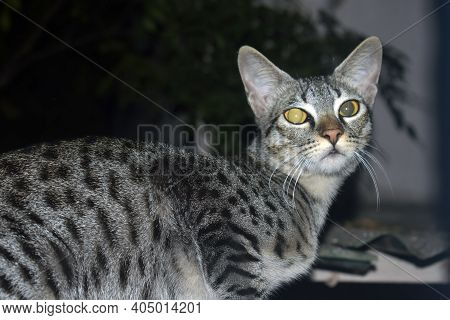 A Closeup Shot Of A Yellow-eyed Cat On A Blurred Background, Close Up Scottish Fold Cat Head With Sh