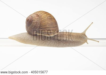 Helix Pomatia. Snails Hang From A Plastic Tube. Mollusc And Invertebrate. Delicacy Meat And Gourmet