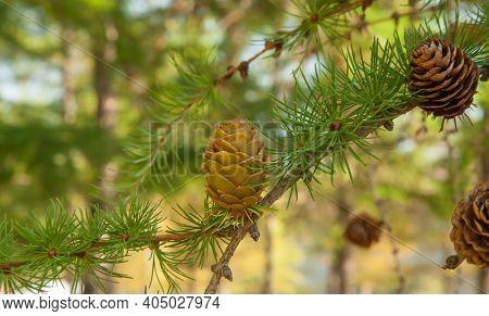 Dunkeld Larch (larix Eurolepis) Cones In International Larix Arboretum At Coram Experimental Forest,