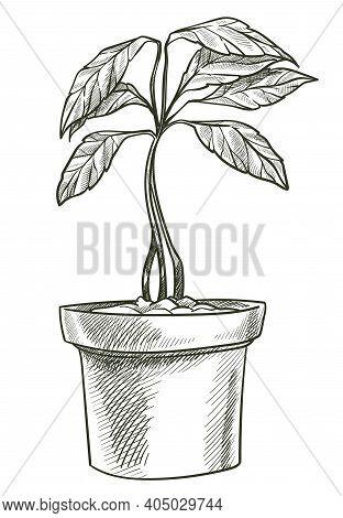 Avocado Tree Vegetable Growing In Pot, Veggie