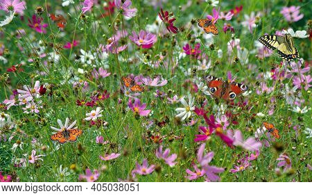 Flower Meadow. Colorful Butterflies In The Meadow. Cosmos Blooming In The Garden And Bright Multicol