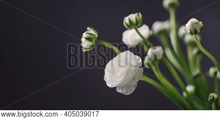 White Blooms Of Ranunculus Flower On Dark With Copy Space, Still Life Of Delicate Blooming Flowers.