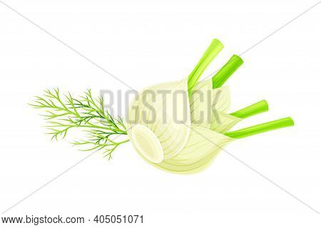 Fennel Or Finocchio Bulb With Green Leaves As Raw Crisp Vegetable Vector Illustration