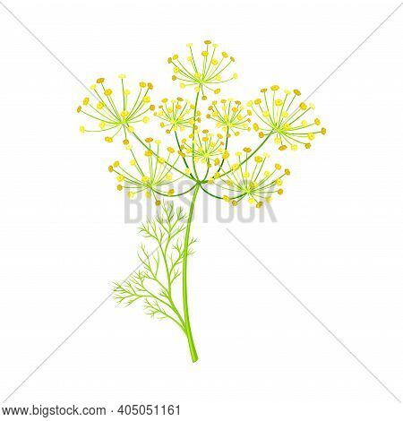 Fennel As Flowering Plant Specie With Yellow Flowers And Feathery Leaves Vector Illustration