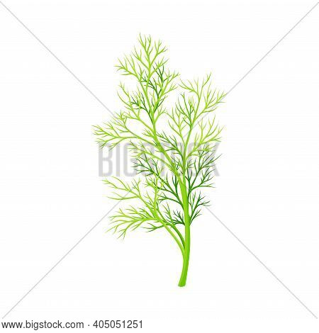 Fennel As Plant Specie With Feathery Leaves Vector Illustration
