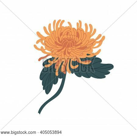 Elegant Yellow Japanese Chrysanthemum With Stem And Leaves. Gorgeous Fall Flower With Lush Petals. B