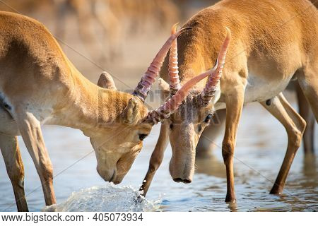 Battle Of Males During The Rut. Saiga Tatarica Is Listed In The Red Book, Chyornye Zemli Or Black La