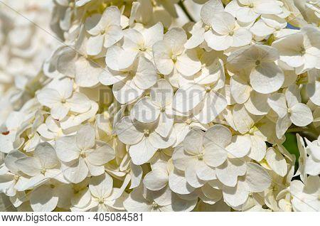Spring background, white Hydrangea flowers blooming in the spring garden, spring hydrangea flowers, closeup of spring white flowers of hydrangea