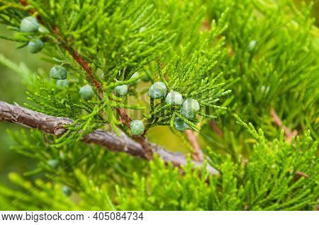 Forest nature, forest landscape. Western Juniper - in latin Juniperus occidentalis, closeup. Soft focus processing, tilt shift effect applied