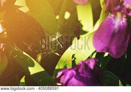 Summer background, summer iris flower and spider web among purple petals under summer sunset light. Selective focus at the spider web, summer landscape, summer flower background