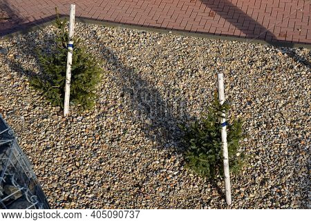 The Spruce Is Very Slender With Horizontal, Short Branches That Protrude From The Trunk. The Bark Of