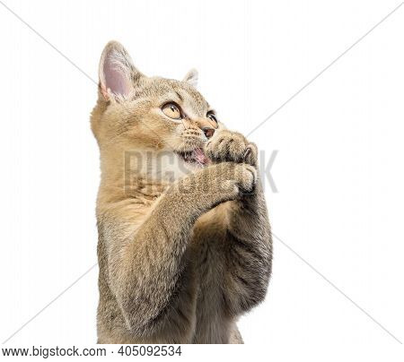 Kitten Golden Ticked Scottish Chinchilla Straight Sits In Front On A White Background. The Cat Looks