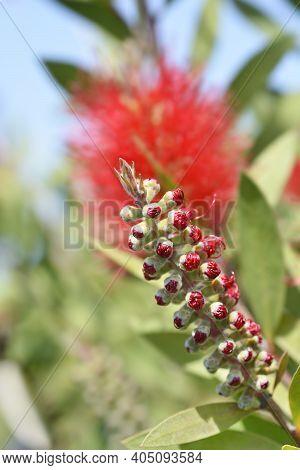 Crimson Bottlebrush Flower Bud - Latin Name - Melaleuca Citrina (callistemon Citrinus)