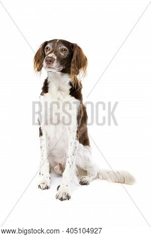 Mix Of A Small Munsterlander And Dutch Partridge Dog