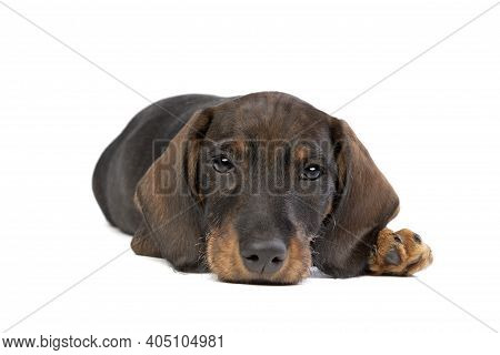 Black And Tan Wire Haired Dachshund Puppy Isolated On White