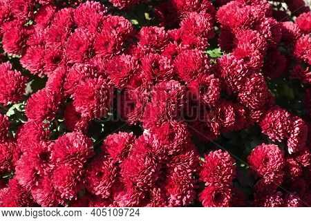 Cerise Red Flowers Of Chrysanthemums In Mid October