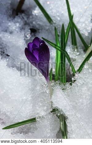 Beautiful Purple Crocus In Melting Snow. Spring Flower Grew Through The Snow Under The Rays Of The S