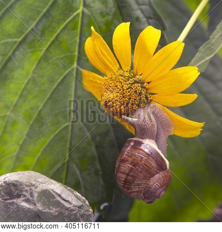 Helix Pomatia. Snail On A Stone Pyramid Is Drawn To The Scent Of A Yellow Flower. Mollusc And Invert
