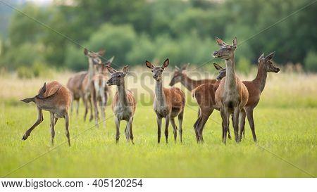 Red Deer Herd Standing On Green Meadow In Spring Nature