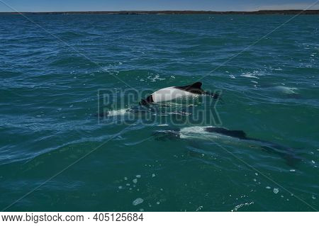 Black And White Commerson Dolphins Swimming In The Turquoise Water Of The Atlantic Ocean At The Coas