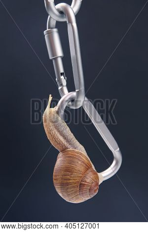 Helix Pomatia. Snails Hold Each Other On Metal Carabiners For Belay. Mollusc And Invertebrate. Delic