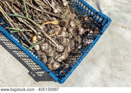 The Freshly Harvested Garlic Is In A Plastic Container. Top View. Garlic Harvest. Garlic Plant With