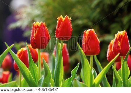 Red Tulips Blooming In The Garden. Beautiful Nature Background In Springtime On A Sunny Day. Dew Dro