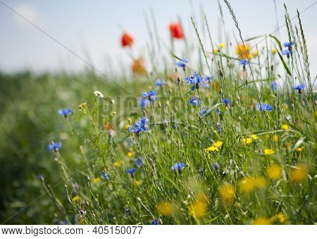 Wildflowers In Green Grass. Summer Landscape. White Daisies, Blue Cornflowers, Red Poppies In The Me