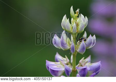 Beetle On Purple Lupine Lupinus Polyphyllus, A Neophyte Plant. Beetle Sits On A Purple Flower Close-