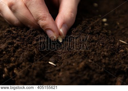 Farmer Hand Sawing Seed On Soil Close Up. Farmers Hand Planting Seeds, Selective Focus.