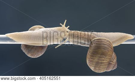 Snails Hang From A Plastic Tube. Romance And Relationships In The Animal Kingdom. Mollusc And Invert