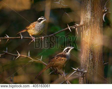 Peucaea Ruficauda - Stripe-headed Sparrow Is American Sparrow, Breeds From Mexico, Including The Tra